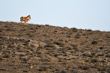 Onager (Equus hemionus), female and young in dry rocky environment, Negev desert, Israel, May.