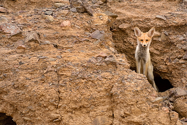 Red fox (Vulpes vulpes), peeking from a hole in rocks, Negev desert, Israel, May.