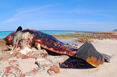 Sperm whale (Physeter macrocephalus), dead on the shore, Socotra island, Yemen, January. Non-ex.