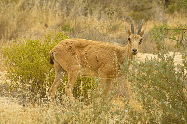 Nubian ibex (Capra nubiana), young male standing among vegetation, Negev desert, Israel, April