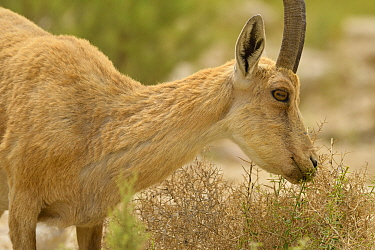 Nubian ibex (Capra nubiana), young male feeding on vegetation, Negev desert, Israel, April