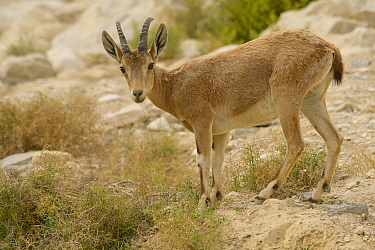 Nubian ibex (Capra nubiana), female standing among vegetation, Negev desert, Israel, April