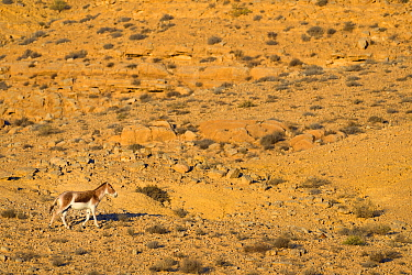 Onager (Equus hemionus), male trotting in rocky environment, Negev desert, Israel, April