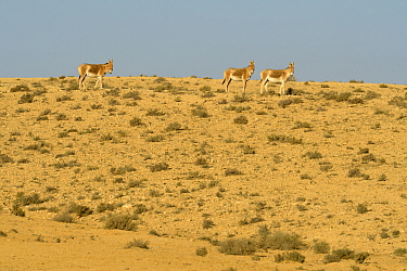 Onager (Equus hemionus), group walking in dry environment, Negev desert, Israel, April