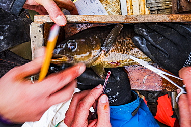 Researchers from Department of Fisheries and Oceans Canada stitching up Atlantic cod (Gadus morhua) juvenile after implanting a radio tag to track the fish's movements. Newfoundland, Canada. May 2...