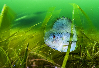 Lumpfish (Cyclopterus lumpus) sheltering in Eelgrass (Zostera marina) bed. Lumpfish are hunted for their roe to produce caviar and are considered threatened in Canada. Terra Nova National Park, Newfou...