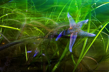 Northern sea star (Asterias rubens), two feeding in Eelgrass (Zostera marina) bed. Newfoundland, Canada. May.