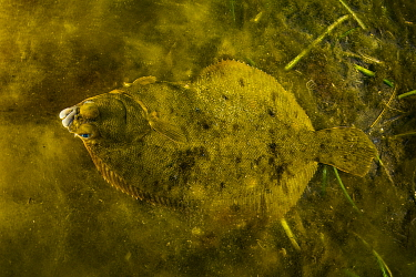 Winter Flounder (Pseudopleuronectes americanus) amongst Algae in seagrass bed. Newfoundland, Canada. May.