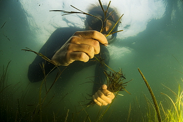 The Nature Conservancy volunteer collecting Eelgrass (Zostera marina) shoots with seeds. Part of the largest seagrass bed restoration project in the world led by Virginia Institute of Marine Science....