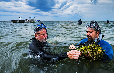 The Nature Conservancy scientist Bo Lusk teaching volunteer how to collect Eelgrass (Zostera marina) seeds for seagrass restoration project. Project led by Virginia Institute of Marine Science, Virgin...