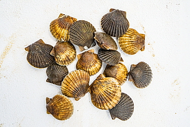 Bay scallops (Argopecten irradians). The Virginia scallop fishery collapsed in the 1930s as seagrass beds disappeared from the area. Raising scallops in cages where they are protected from predators a...