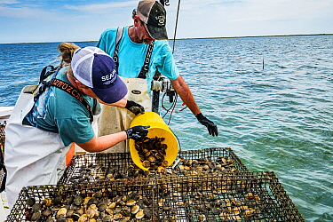 Researchers from the Virginia Institute of Marine Science pouring Scallops (Argopecten irradians) into cage. The Virginia scallop fishery collapsed in the 1930s as seagrass beds disappeared from the a...