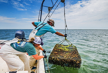 Researchers from the Virginia Institute of Marine Science lowering Scallop (Argopecten irradians) cage into sea. The Virginia scallop fishery collapsed in the 1930s as seagrass beds disappeared from t...