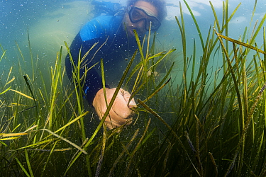 Scientist Bo Lusk collecting Eelgrass (Zostera marina) shoots with seeds. Part of the largest seagrass bed restoration project in the world led by Virginia Institute of Marine Science. Virginia, USA....