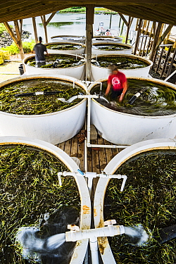 Scientists from The Nature Conservancy using their bodies to stir Eelgrass (Zostera marina) in large tanks where seeds will separate from leaves for later dispersal. Part of the largest seagrass bed r...