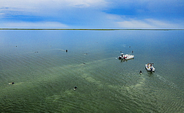 The Nature Conservancy volunteers collecting Eelgrass (Zostera marina) seeds, aerial view. Part of the largest seagrass bed restoration project, led by Virginia Institute of Marine Science. Virginia,...