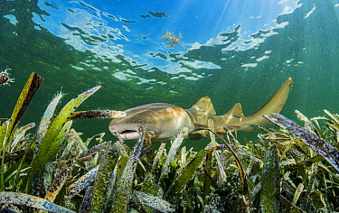 Nurse shark (Ginglymostoma cirratum) hunting in Turtlegrass (Thalassia testudinum) bed. Florida Keys, Florida, USA.
