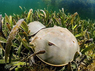 Horseshoe crab (Limulus polyphemus) pair mating in Turtlegrass (Thalassia testudinum) bed. Florida Keys, Florida, USA.