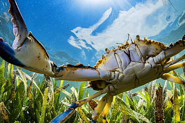 Atlantic blue crab (Callinectes sapidus) hunting in Turtlegrass (Thalassia testudinum) seagrass bed, view towards sky. Florida Keys, Florida, USA.