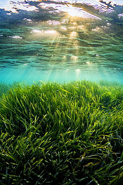 Neptune seagrass (Posidonia oceanica) bed, illuminated by sun rays shining through water. A patch of seagrass bed in the Mediterranean sea is considered to be the oldest living organism on earth. Spai...
