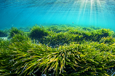 Sun rays shining onto Neptune seagrass (Posidonia oceanica) bed. A patch of this seagrass bed is considered to be the oldest living organism on earth. Spain. June.