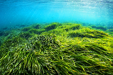 Neptune seagrass (Posidonia oceanica). A patch of this seagrass bed is considered to be the oldest living organism on earth. Spain. June.