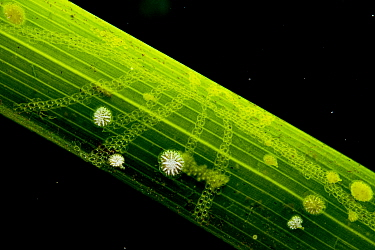 Bryozoans (Electra posidoniae and Patinella radiata) on Neptune seagrass (Posidonia oceanica) blade, close up. When including this level of organism seagrass beds rival rainforests in their biodiversi...