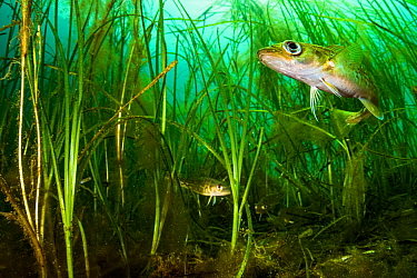 Atlantic cod (Gadus morhua) juveniles hiding in Eelgrass (Zostera marina) bed. Once the most caught fish in the world, the cod fishery collapsed in 1992. Juveniles use seagrass beds as a nursery, the...