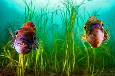 Cunner (Tautogolabrus adspersus) pair in Eelgrass (Zostera marina) bed. Newfoundland, Canada. September.