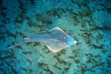 Common guitarfish (Rhinobatos rhinobatos) hunting in seagrass bed, view from above. Marsa Alam, Egypt.