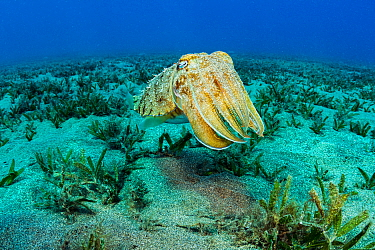 Hooded cuttlefish (Sepia prashadi) over seagrass bed. Marsa Alam, Egypt.