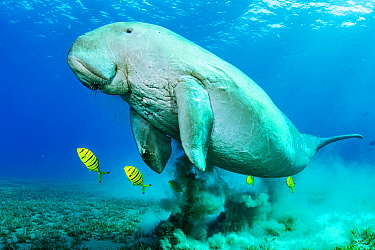 Dugong (Dugong dugon) male and juvenile Golden trevally (Gnathanodon speciosus) shoal swimming over Turtlegrass (Halophila stipulacea) seagrass bed. Marsa Alam, Egypt.
