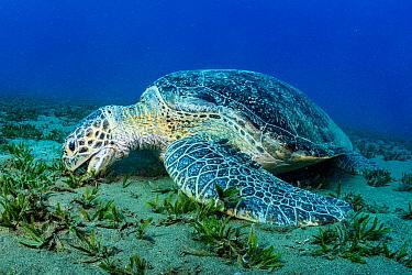 Green sea turtle (Chelonia mydas) grazing on Turtlegrass (Halophila stipulacea) in seagrass bed. Marsa Alam, Egypt.