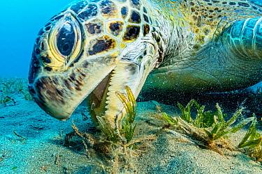 Green sea turtle (Chelonia mydas) grazing on Turtlegrass (Halophila stipulacea), close up. Marsa Alam, Egypt.