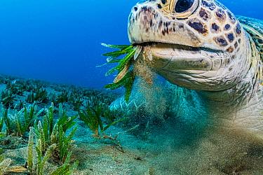 Green sea turtle (Chelonia mydas) feeding on Turtlegrass (Halophila stipulacea) in seagrass bed, close up. Marsa Alam, Egypt.