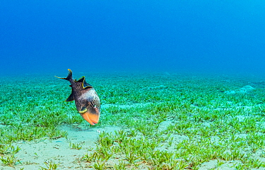 Yellowmargin triggerfish (Pseudobalistes flavimarginatus) feeding in Tapegrass (Halophila stipulacea) seagrass bed. Marsa Alam, Egypt.