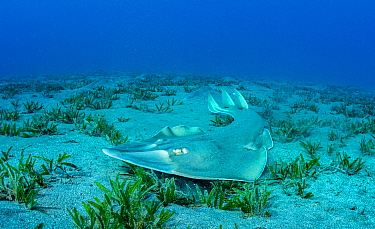 Common guitarfish (Rhinobatos rhinobatos) hunting in Tapegrass (Halophila stipulacea) seagrass bed. Marsa Alam, Egypt.