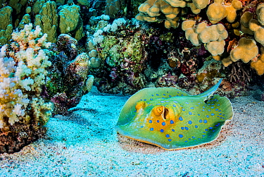 Blue-spotted stingray (Taeniura lymma) resting on seabed in coral reef. Marsa Alam, Egypt.