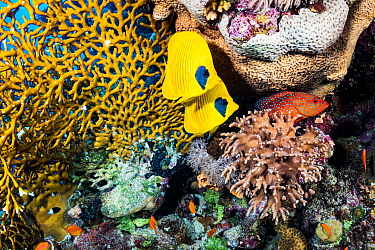 Masked butterflyfish (Chaetodon semilarvatus) pair and Coral hind (Cephalopholis miniata) in coral reef. Marsa Alam, Egypt.