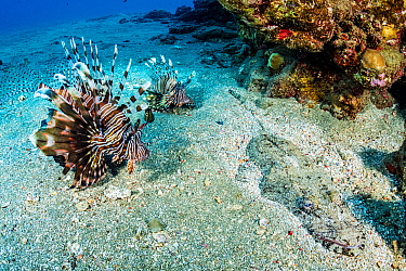 Red lionfish (Pterois volitans), two on sea floor beside Crocodile fish (Cymbacephalus beauforti), an ambush predator camouflaged and hidden. Marsa Alam, Egypt.