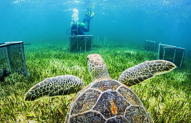 Green sea turtle (Chelonia mydas) in seagrass bed. Researcher from CORE (Centre for Ocean Research and Education) Sciences diving in background, amongst exclusion cages on sea floor to monitor the eff...