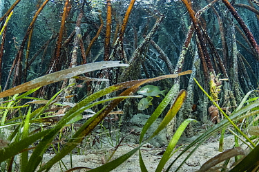 Schoolmaster snapper (Lutjanus apodus) amongst Red mangrove (Rhizophora mangle), Turtlegrass (Thalassia testudinum) in foreground. Eleuthera Island, Bahamas.