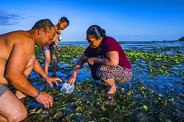 Family harvesting Tape seagrass (Enhalus acoroides) fruit to eat and sell, at low tide. Sanur, Bali, Indonesia. 2018.
