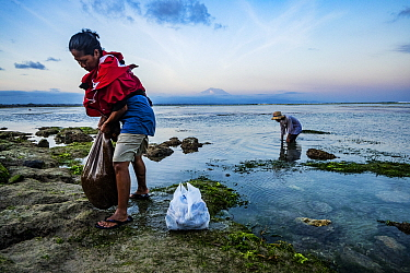 Mother and son searching for Sea urchins (Echinoidea) in Seagrass bed at low tide. Sanur, Bali, Indonesia. 2018.