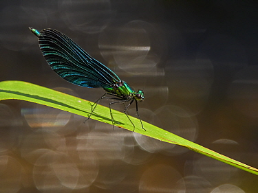 RF - Beautiful Demoiselle damselfly, , (Calopteryx virgo), , male perching above river, , Wales, UK (This image may be licensed either as rights managed or royalty free.)