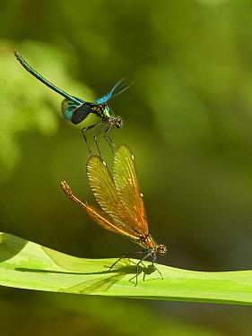 Beautiful Demoiselle damselfly, (Calopteryx virgo), male and female, Wales, UK
