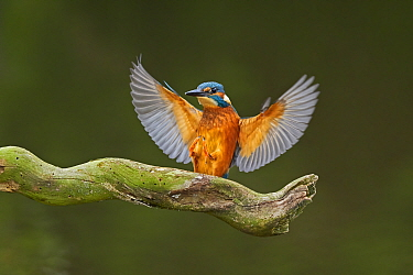 Common Kingfisher, (Alcedo atthis), landing on perch, UK