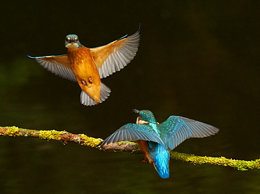 Common Kingfisher, (Alcedo atthis), displaying to sibling, UK