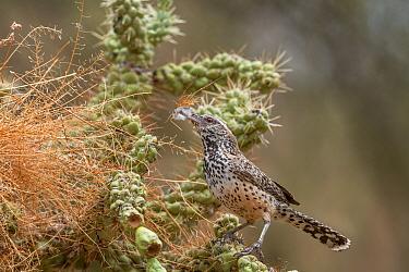 Cactus wren (Campylorhynchus brunneicapillus) building nest woven amongst Chain cholla cactus (Opuntia fulgida.) Santa Catalina Mountain Foothills, Sonoran Desert, near Tucson, Arizona, USA. July.