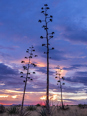 Agaves (Agave palmeri) in flower at sunset, Sands Ranch Conservation Area, Arizona, USA. July.